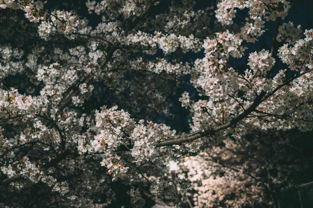 Sakura in Utusbo Park, Osaka