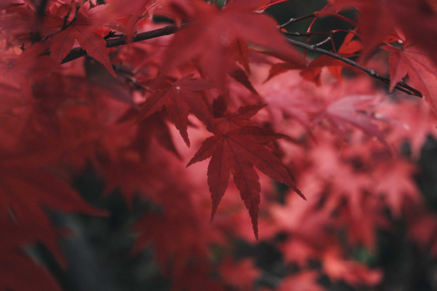 Red Maple Leaves, Autumn Foliage