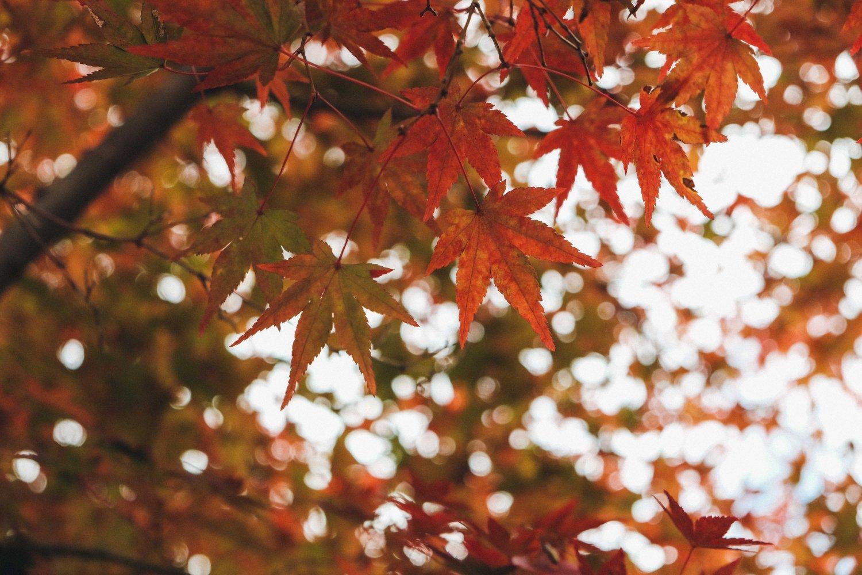 Orange Maple Leaves, Autumn Foliage
