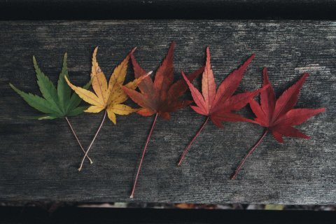 Leaf Transformation From Green To Red, Autumn Foliage